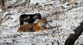 Η απίθανη φιλία μεταξύ ενός τίγρη και μιας κατσίκας. Καταπληκτικό. (Βίντεο)