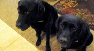 Ένα από τα σκυλιά έκλεψε ένα μπισκότο. Το πως ανακαλύπτει τον ένοχο η ιδιοκτήτριά τους είναι ξεκαρδιστικό!