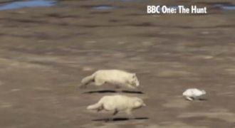 Αντί για τον λαγό, οι πεινασμένοι λύκοι έφαγαν τη… σκόνη του! (βίντεο)