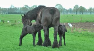 Βελγικό άλογο γεννά δίδυμα και το θέαμα είναι πραγματικά πανέμορφο!