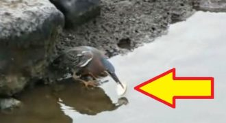 Δεν φαντάζεστε πώς πιάνει ψάρια αυτό το πουλί! (Βίντεο)