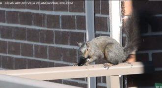 Εφτάψυχος… σκίουρος πηδά από τον 21ο όροφο! (Video)
