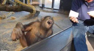 Ουρακοτάγκος «ξεράθηκε» στα γέλια όταν είδε ταχυδακτυλουργικό τρικ! (Video)