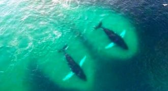 Drone κατέγραψε ένα κοπάδι από φάλαινες την ώρα που τρώνε με μανία!