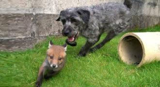 Η Αλεπού και το Κυνηγόσκυλο στην πραγματική ζωή (Video)