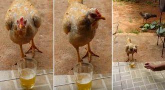 Αυτή η «μεθυσμένη» κότα δεν θέλει κανείς να της πειράζει την μπύρα της!