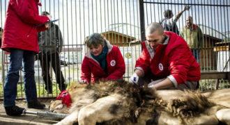 Δείτε την συγκινητική στιγμή της απελευθέρωσης πέντε λιονταριών που μεγάλωσαν στην αιχμαλωσία (ΒΙΝΤΕΟ)