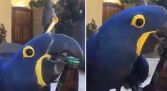Ένας παπαγάλος ζωντανό > (Βίντεο)