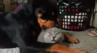 Αυτό το ροτβάιλερ λατρεύει τον φίλο του. Αλλά είναι αμφίβολο αν ο γάτος αισθάνεται το ίδιο..