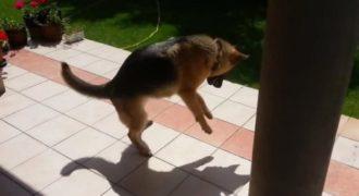 Αυτός ο Γερμανικός Ποιμενικός μόλις ανακάλυψε τη., σκιά του. Η αντίδραση του: Ανεκτίμητη!