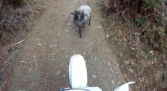 Τσαντισμένο κριάρι εναντίον αναβάτη μοτοσικλέτας (Video)