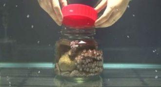 ΑΠΙΣΤΕΥΤΟ: Έκλεισε ένα ζωντανό χταπόδι σε ένα γυάλινο βάζο. Δείτε τι συνέβη μετά… [video]