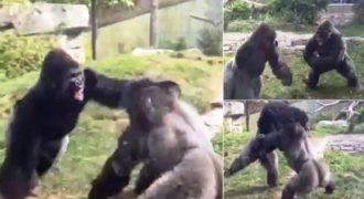 Μποξ ανάμεσα σε γορίλες σε ζωολογικό κήπο της Νεμπράσκα.(Βίντεο)