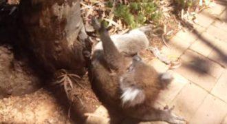 Βίντεο: Ένα μικρό κοάλα πλαντάζει στο κλάμα επειδή το κατέβασαν από το δέντρο του