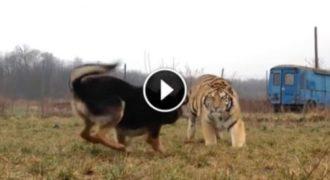 Μία Τίγρης έτρεξε καταπάνω στο σκύλο της. Η συνέχεια θα σας συγκλονίσει.