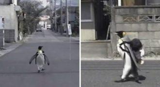 Μόνο στην Ιαπωνία θα δει κανείς Πιγκουίνο να βάζει την τσάντα στην πλάτη και να πηγαίνει στην ψαραγορά για Ψώνια!