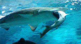 Καρχαρίας καταβροχθίζει καρχαρία σε ενυδρείο στη Νότια Κορέα!