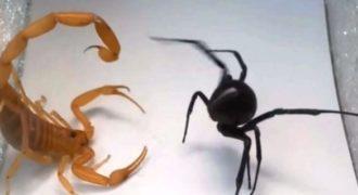 Επική αναμέτρηση: Μαύρη χήρα εναντίον σκορπιού (Βίντεο)