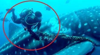Φαλαινοκαρχαρίας συνεργάζεται με έναν δύτη να τον σώσει από το μαρτύριό του.