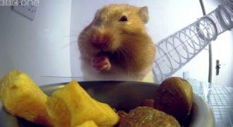 Πως μπορεί ένα χάμστερ και χωράει τόση ποσότητα φαγητού στο στόμα του;