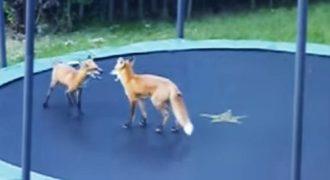 Δύο αξιολάτρευτες αλεπούδες ανακαλύπτουν πώς να χρησιμοποιούν ένα τραμπολίνο.