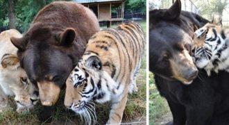 Αχώριστοι φίλοι για 15 χρόνια μια αρκούδα, μια τίγρης και ένα λιοντάρι (Video)