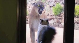 Ένα βουνίσιο λιοντάρι πλησιάζει από την γάτα στο παράθυρο. Η αντίδραση της; Πρέπει να την δείτε!