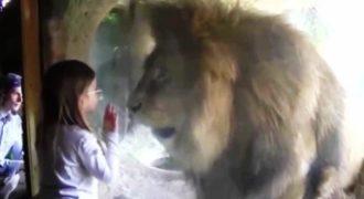Αυτή η μικρούλα έστειλε ένα φιλάκι σε αυτό το λιοντάρι αλλά δεν περίμενε με τίποτα αυτή την αντίδρασή του!