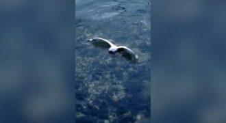 Ένα χταπόδι άρπαξε έναν γλάρο και τον έπνιξε στα νερά του. (Βίντεο)