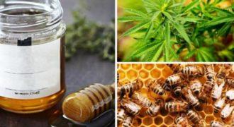 Μέλισσες φτιάχνουν μέλι από χασισόδεντρα! (Video)