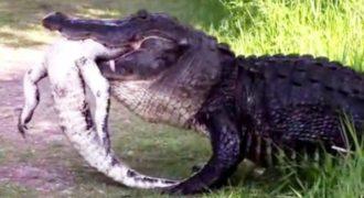 Σοκαριστικό βίντεο με τεράστιο αλιγάτορα που τρώει έναν μικρότερό του.