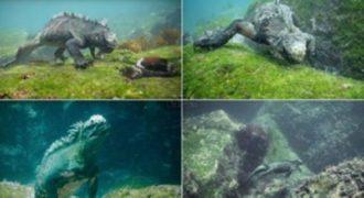 Λύτες ανακάλυψαν ένα «Τεράστιο» θαλάσσιο ιγκουάνα στα νησιά Γκαλαπάγκος.