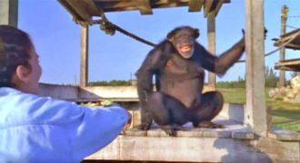 Χιμπατζής ξαναβλέπει την γυναίκα που τον έσωσε μετά από 18 χρόνια.(Video)