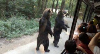Αρκούδες περπατούν στα δύο πόδια για να κερδίσουν λιχουδιές! (Βίντεο)