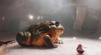 Ένας βάτραχος που τρώει τα πάντα! (Video)