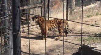 Μπήκε μέσα στο κλουβί της τίγρης για να πιάσει το καπέλο του. (Βίντεο)