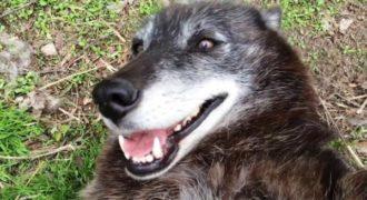 Παίζει και χαϊδεύει έναν άγριο λύκο χωρίς να φοβάται. Δείτε όμως το ευτυχισμένο βλέμμα του λύκου!