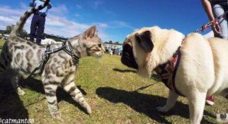 Αυτή η γάτα χαιρετάει 50 σκύλους σε Αυστραλιανό διαγωνισμό σκύλων.