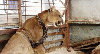 20 Χρόνια ήταν ξεχασμένο αυτό  το λιοντάρι τσίρκου και ζούσε σε ένα παλιό φορτηγό. Η αντίδρασή του, όταν τον απελευθέρωσαν μετά από τόσα χρόνια είναι συγκινητική