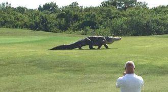 Αυτός ο τεράστιος αλιγάτορας μπήκε μέσα σε ένα τεράστιο γήπεδο γκολφ και αναστάτωσε τους πάντες.