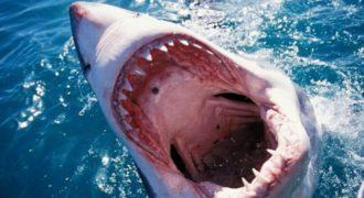 Εντυπωσιακό: Δείτε πως κοιμάται ένας μεγάλος λευκός καρχαρίας (Βίντεο)