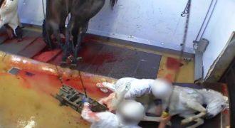 Σοκαριστικές σκηνές κακοποίησης ζώων σε σφαγείο της Γαλλίας (Προσοχή σκληρές εικόνες)