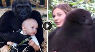 Μωρό που μεγάλωσε με γορίλες τους ξανασυναντάει μετά από 12 χρόνια (Video)