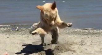Απλά Κοιτάξτε πόσο υπερβολικά ενθουσιασμένος είναι αυτός ο σκύλος μόνο και μόνο γιατί σκάβει τρύπες στην άμμο!