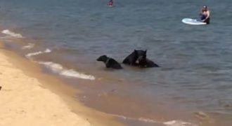 Σπάνια βίντεο με οικογένεια αρκούδων που έπεσαν σε λίμνη για να δροσιστούν.