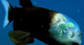 Το Ψάρι με διάφανο κεφάλι. (Βίντεο)