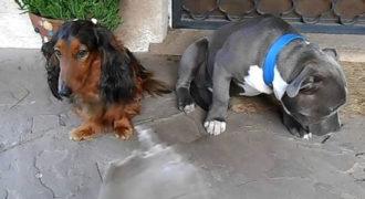 Ένοχο pitbull προσπαθεί να κρυφτεί πίσω από τον πιο μικρόσωμο φίλο του (Video)