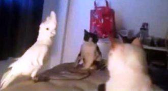 Παπαγάλος νομίζει ότι είναι μέλος της συμμορίας των γατών (Βίντεο)