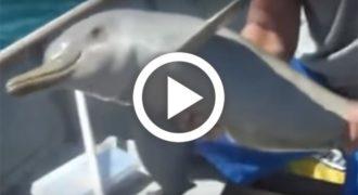 Δείτε πώς ευχαρίστησε ένα μικρό δελφίνι τους ανθρώπους που του έσωσαν τη ζωή! [Βίντεο]