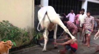 Η αγελάδα που έκανε τον Bruce Lee να μοιάζει γατάκι! (Video)